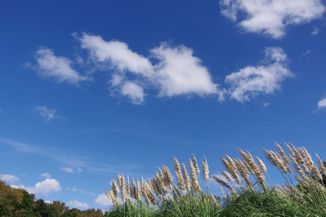 画像: りっぱなパンパスグラスの穂。だが、ここでは上空の青空のほうを広く入れて、開放的な雰囲気を演出する。建造物はないので、あまり水平にはこだわらない。