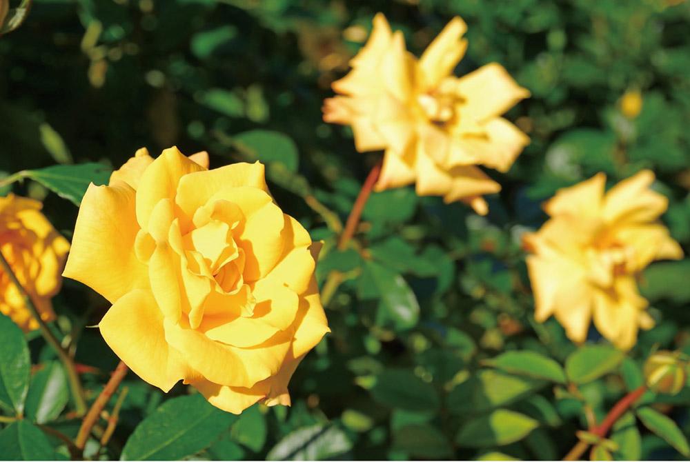 画像: 花の形からすると「日の丸構図」になりやすい。だが、近くの二輪の花を右側に入れることで、バランスのいい構図になった。