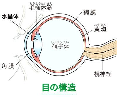 画像: ルテインは「黄斑」や「水晶体」にあって目を保護する