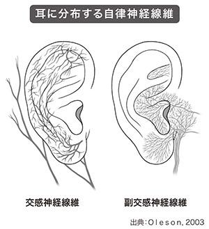 画像: 耳のどの部位をもむかで現れる効果が異なる