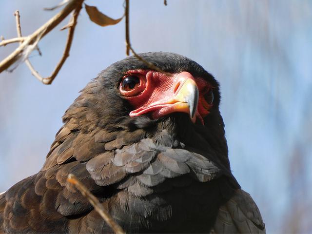画像: 動物園ケージ内のワシ。手前に柵があるが、1440ミリ相当の狭い画角なら、その影響を避けて撮れる。赤い顔や毛並みがシャープ。