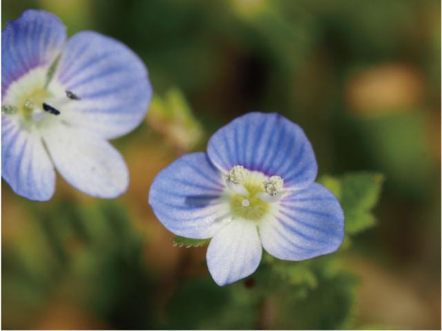 画像: オリンパスのマクロレンズによる、35ミリ判換算「2倍」のマクロ撮影。直径5ミリ強の小さな花も、この大きさに。