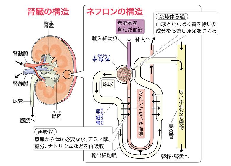 画像: 【慢性腎臓病(CKD)とは】主な原因と血液検査・尿検査で注意したい項目