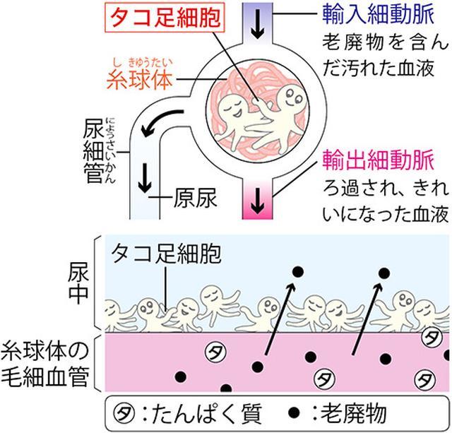 画像2: 【慢性腎臓病(CKD)】なぜ「運動」で腎機能が改善するのか