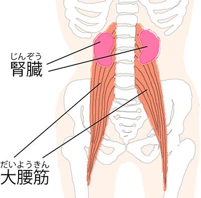 画像: 《腎臓と大腰筋の関係》 腎臓は大腰筋上部の前方に近接している