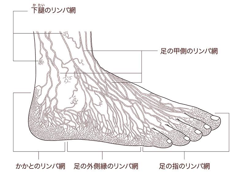 画像: 足の甲側のリンパ網[出典:金子丑之助著『日本人体解剖学 第三巻』(南山堂)]