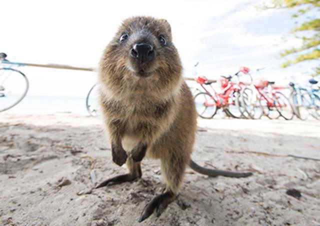 """画像: 島に生息する、笑ったような顔の有袋動物 """"クオッカ""""は、「世界一しあわせな動物」と呼ばれている。一緒にセルフィーを撮るのが人気。 www.nonbiri-perth.com"""