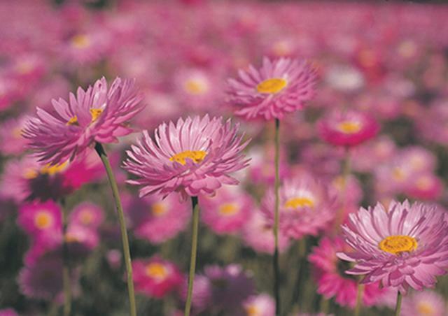 画像: パースの中心部にあるキングスパークでは毎年9月にワイルドフラワーフェスティバルが開催される。 www.nonbiri-perth.com