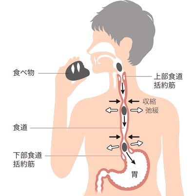 画像: 食べ物は食道を通って胃に送られる 口に入った食べ物は、上部食道括約筋が開いて食道に入り、収縮と弛緩をくり返すぜん動運動で下に運ばれていく。最終的には胃の手前にある下部食道括約筋(普段は閉じている)が開き、胃に入る。