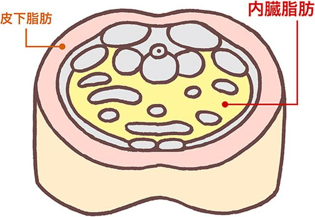 画像: 皮膚と筋肉の間につくのが皮下脂肪。内臓の周囲につくのが内臓脂肪。内臓脂肪が増えて起こる内臓脂肪型肥満は、男性や閉経後の女性に多い