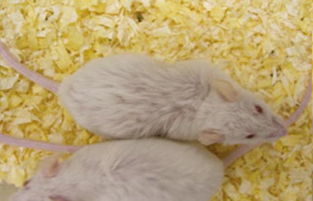 画像: B群(普通のエサを与えた群) 毛がボサボサで動きも鈍く、いかにもヨボヨボに年老いている。