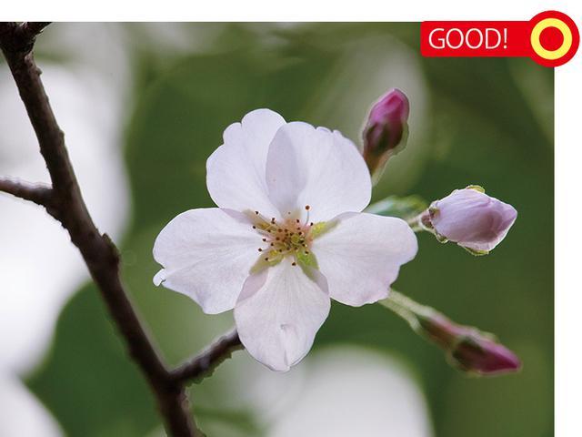 画像: 花は画面中央だが、左側には枝、右側にはツボミがある。そのため、変化に富んだバランスのいい構図となっている。