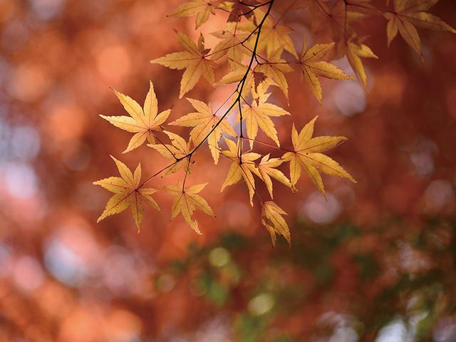 画像: 木漏れ日を浴びる逆光の紅葉。その枝の中から、大きくて最も光を浴びる葉をねらった。