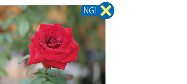 画像: 画面中央に一輪のバラ。周囲は変化のないボケた背景。典型的な日の丸構図である。