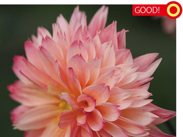 画像: ダリアを斜めアングルでねらう。手前の花弁にピント。後方はボケるが、不自然さはない。