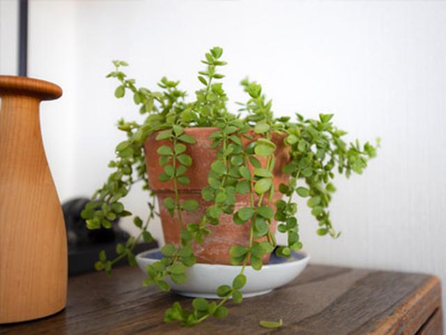 画像: 窓の外、和箪笥の上……とあちこちに植物が。週1の水やりでOKのグリーンを選べば、枯らす心配がない