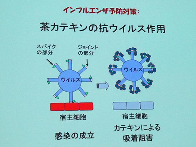 画像: カテキンは、インフルエンザウイルスが細胞に吸着するのを阻害する。