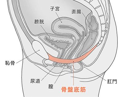 画像: 骨盤底筋の場所