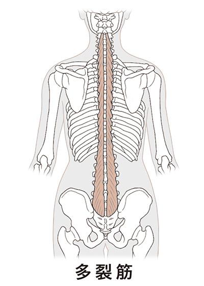 画像1: 【多裂筋のストレッチ】やり方は簡単!腰痛の改善には筋肉の「しつけ」が大切
