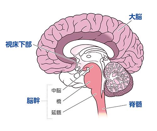 画像: 自律神経の調整やホルモン分泌を促す