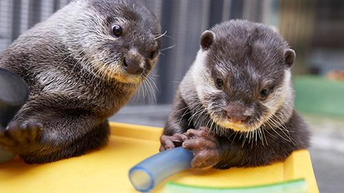 画像: 名前の通り、爪が小さいコツメカワウソ www.yomiuriland.com