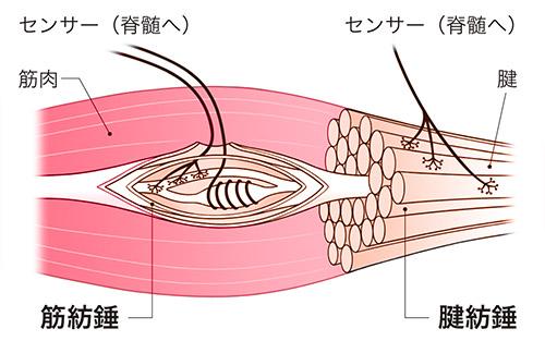画像: 筋肉のセンサーの異常が、こむら返りを引き起こす