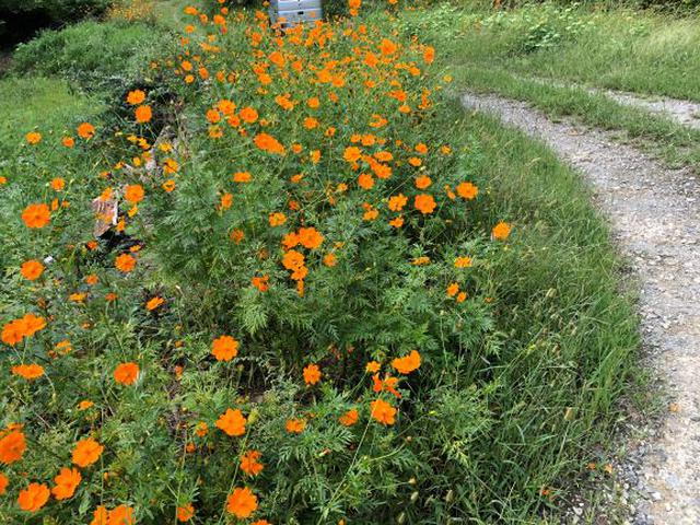 画像: 昼食後にトレラン再開。コスモスがとってもキレイに咲いていました。季節を感じられるのも魅力です