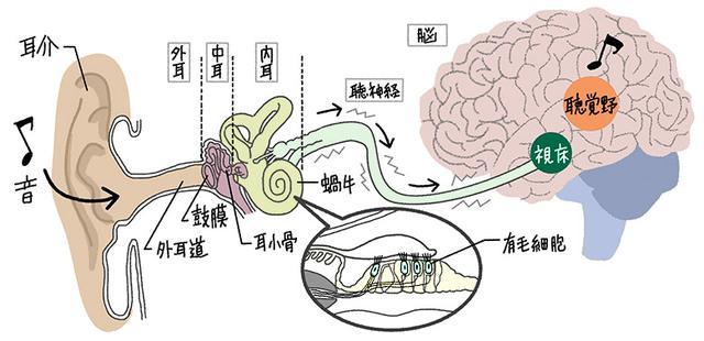 画像: ❶ 外耳 :音を集めて中耳に伝える。 ❷ 中耳 :音を増幅して振動に変換し、内耳に伝える。 ❸ 内耳 :音の振動を電気信号に変換し、脳へ伝える。 ❹ 脳 :電気信号を受けて、音として認識する。
