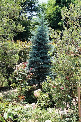 画像: 常緑樹