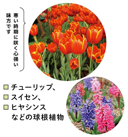画像: チューリップ、スイセン、ヒヤシンスなどの球根植物