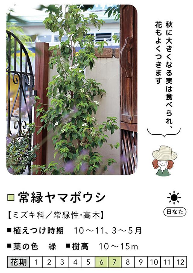 画像: 常緑ヤマボウシ