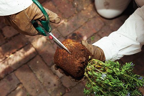 画像: 根が伸びすぎた苗は根元にはさみを入れる