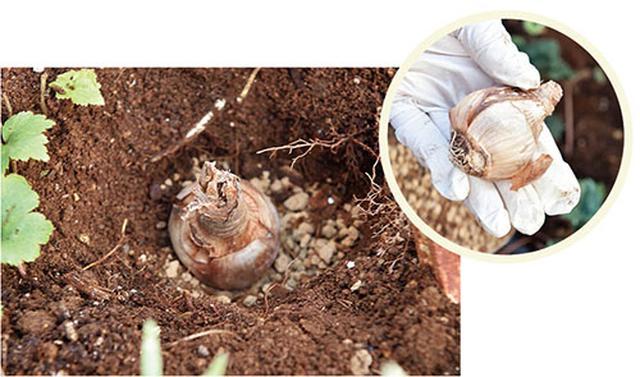 画像: ③球根を穴に入れる