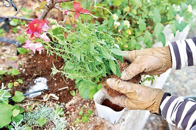 画像: ④根をほぐして穴に入れる