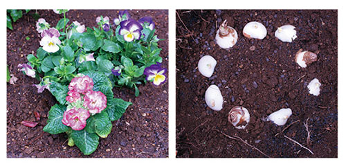 画像: 球根+苗の2層植えも楽しい