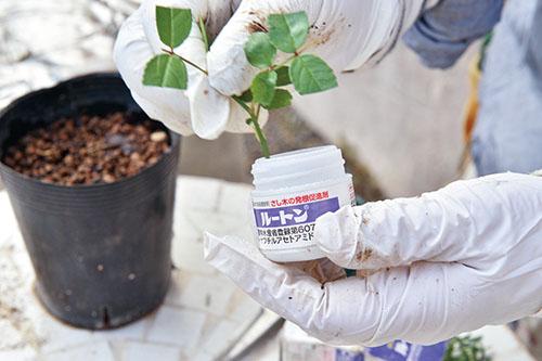 画像: ⑤根っこに発根促進剤をつける