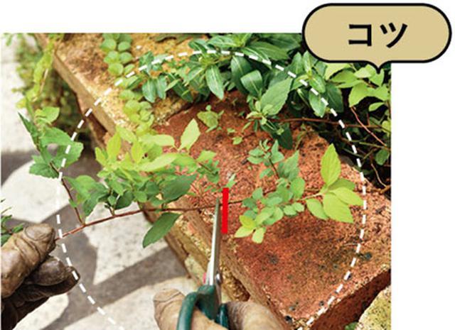 画像: 元気な葉を2〜3枚残してカットする