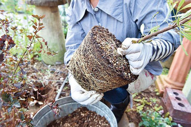 画像: ③ポットから苗木を出す