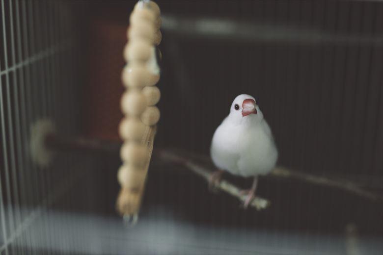 画像: 激怒5秒前の白文鳥。