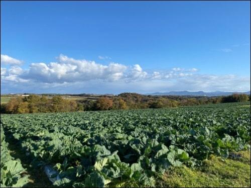 画像: 広大なケール畑
