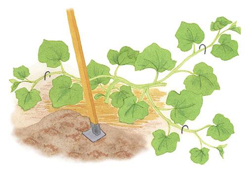 画像: 中耕する