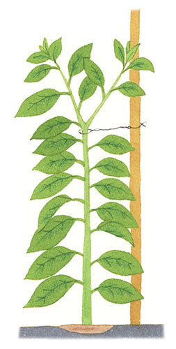 画像: 茎が太くなってもいいように ゆとりを持たせてひもをかける