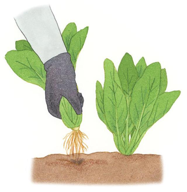 画像: 株元を持ってゆっくりと引っ張り、根が抜けきる前にゆらして土を落としてから、最後まで引き抜く。