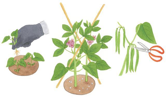 インゲン 方 なし つる の 育て つるなしインゲン(サヤインゲン/テナシインゲン)栽培記&育て方 :