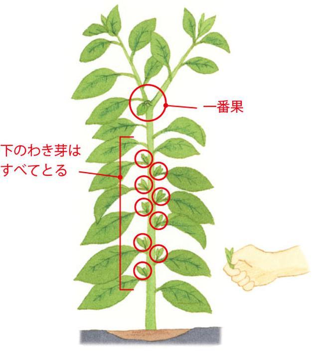 画像: 一番果より下のわき芽は手で摘みとる。