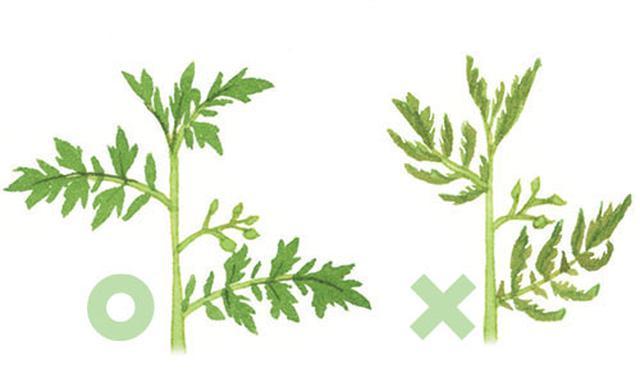 画像: 重要! 葉がそり返っていたら肥料不足のサイン