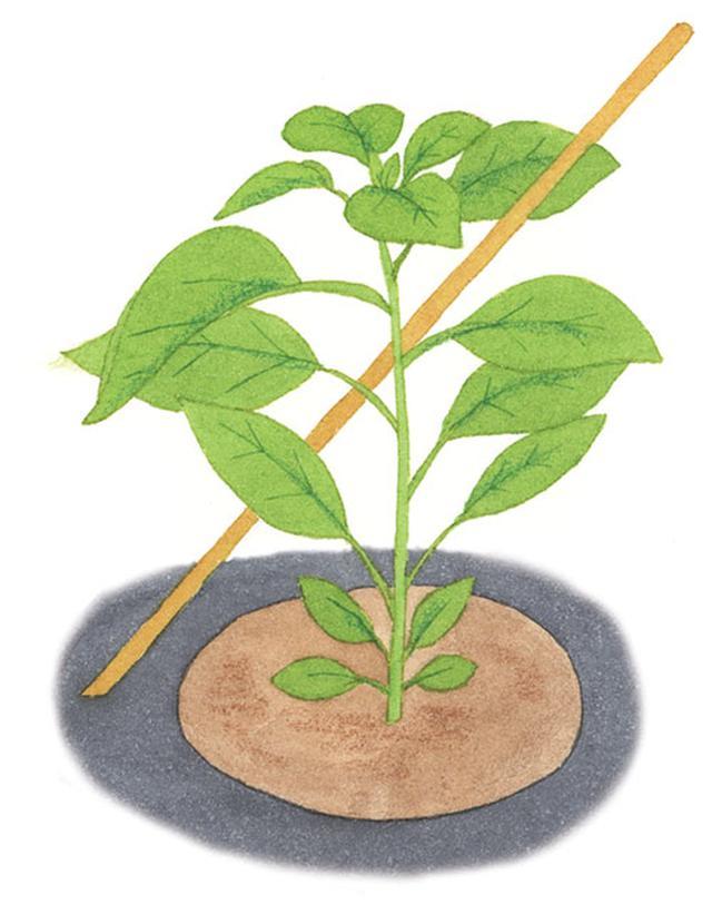 画像2: ①植えつけ