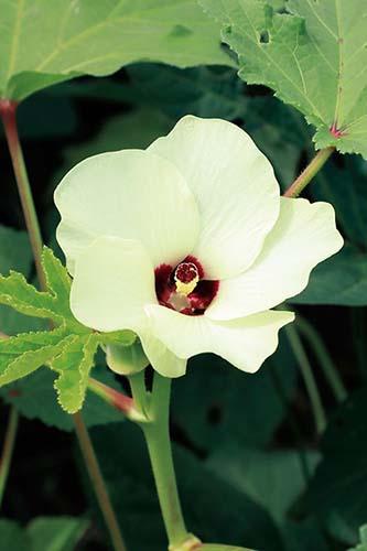 画像: オクラの美しい花。早朝に開花し、夕方にはしぼむ一日花で、開花後3~4日後に実を収穫できる。とり遅れないようにチェックしておくとよい。