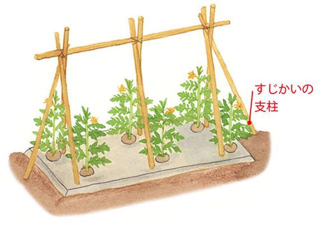 画像: 240㎝の支柱を、1株につき1本ずつ、株から10㎝離れたところに斜めにさす。2本ずつを上で交差させて横支柱を1本渡し、縦支柱と横支柱をひもで結んで固定する。より頑丈にするには斜めにすじかいの支柱を入れる。