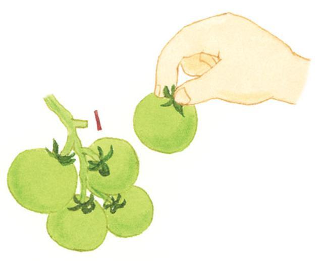 画像: 1つめの実をとると、残った3~4個の実が大きく育つ。
